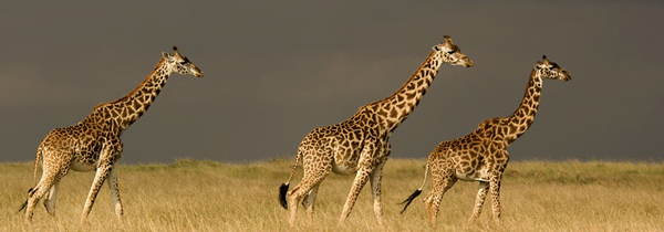 Safari in Kenya and Tanzania – the ultimate Wildlife Experience Travel Vacation Package